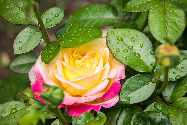dvoubarevná růže